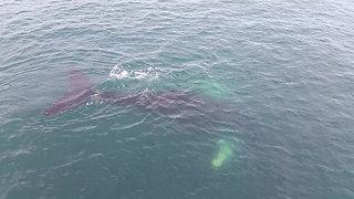 Nettie the Entangled Humpback Whale