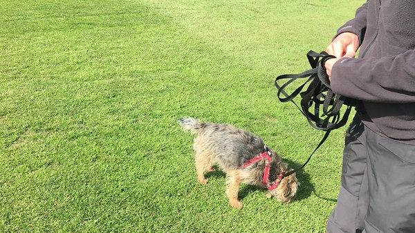 Dog Reactive Border Terrier