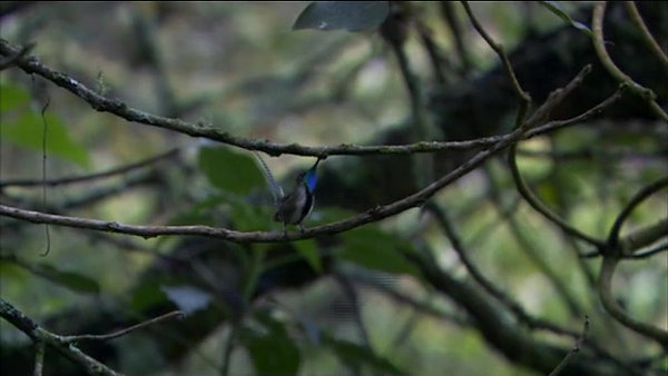 "Marvelous Spatuletail - BBC Earth - Life - ""Birds"""