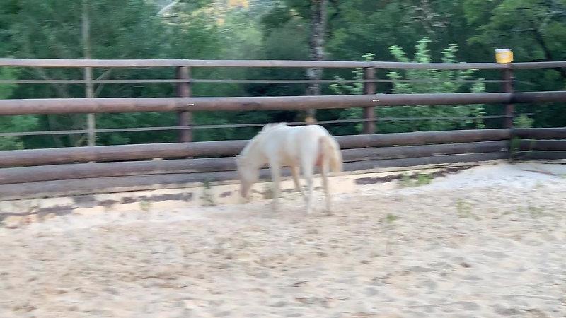 Foals Mâles AMHR