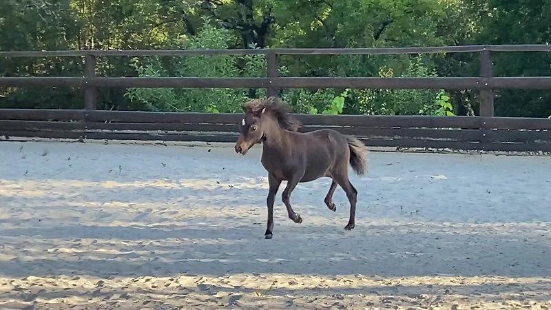 Foals Femelles AMHA