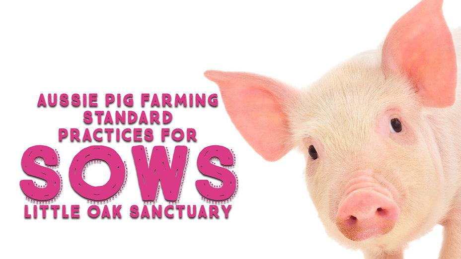 PIG INDUSTRY SOWS