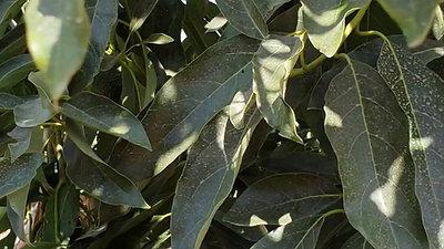 Árbol joven de Maluma