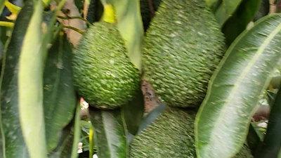 Árbol de Maluma listo para ser cosechado