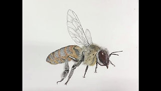 Honey Bee Timelapse demonstrating technique of adding color with pastel pencils and colored pencils, on top of the original pen and ink drawing