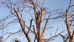 d rimmer tree poplar reduction