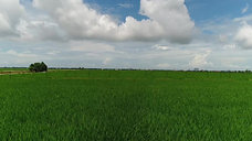 Low altitude aerial footage over a rice paddy field