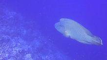 Rotes Meer - Napoleonfisch