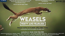 BBC Natural World - Weasels: Feisty and Fearless