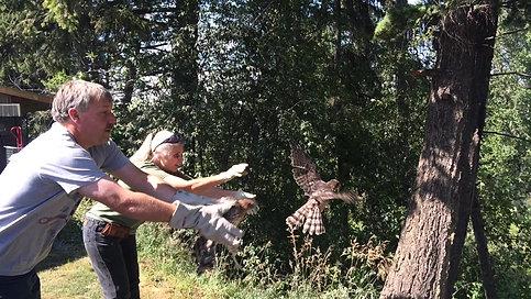 Coopers Hawk Release