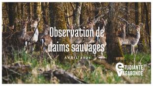 Observation de daims sauvages