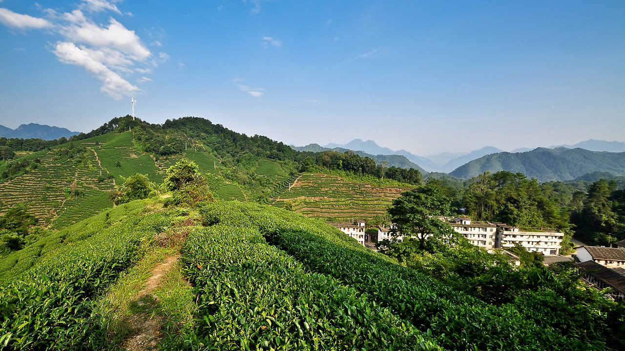 Chinese Tea Mountain & Tea Farm