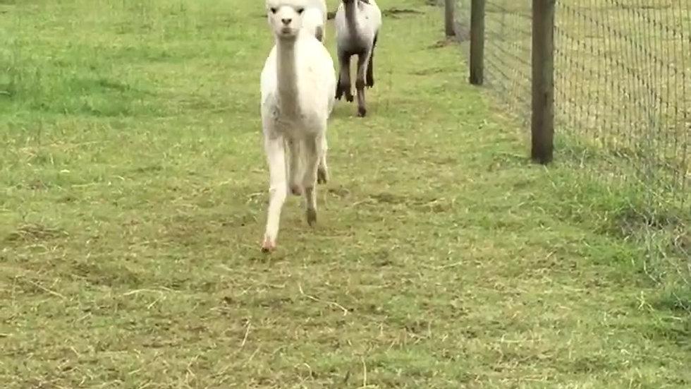 Happy Alpacas