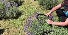 Levendula virág gyűjtése