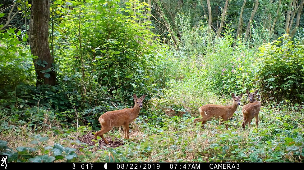 Young Roe Deer keeping out of Dads way