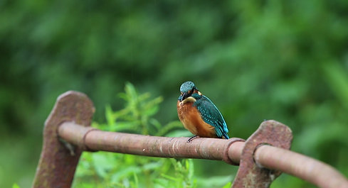 Juvenile Kingfisher