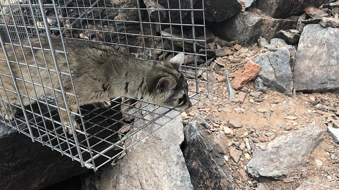 Ringtail Release!