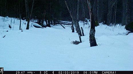 Adult male lynx