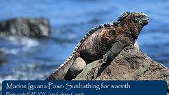 Marine Iguana Pose