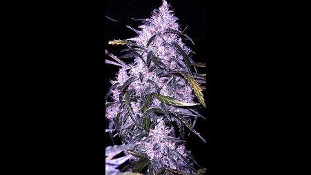Sexy Cannabis Album Vol.3