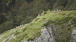 Isards - Pyrénées