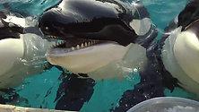 Enjoy ice cubes Orcas do too!