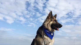 Bikes/Dogs/Human Reactive German Shepherd Rehab | Perfect Companion K9