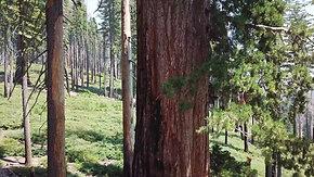 Aerial | Giant Sequoias 4K