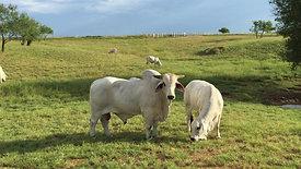 Bull & Female