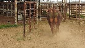 Beefmaster bull (1)