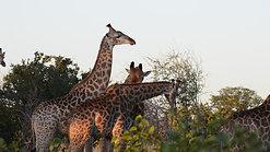 Giraffes dance