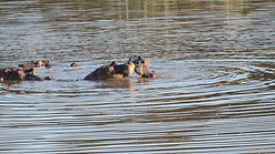Hippo playing
