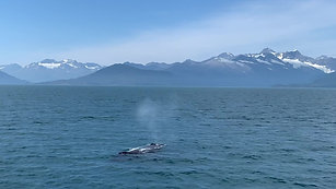 Humpback Surfacing