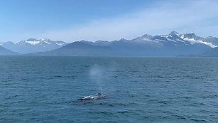 Humpback Surfacing