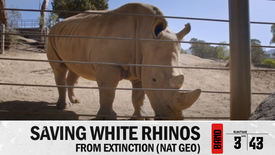 Saving Northern White Rhinos from Extinction (NAT GEO)