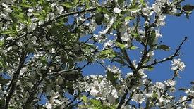 Almond Tree 2007
