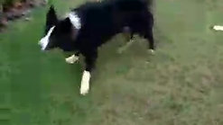 Border Collie - Haendel