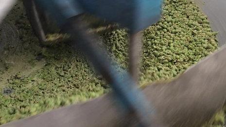 Scarico olive al frantoio