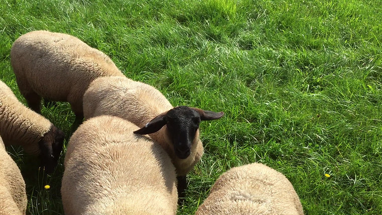 Lambs August 2018