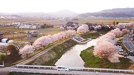 鉢山桜並木