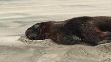 Sea Lion on Surat Bay