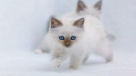 "Royal Canin   Kittenhood"" (30"")"