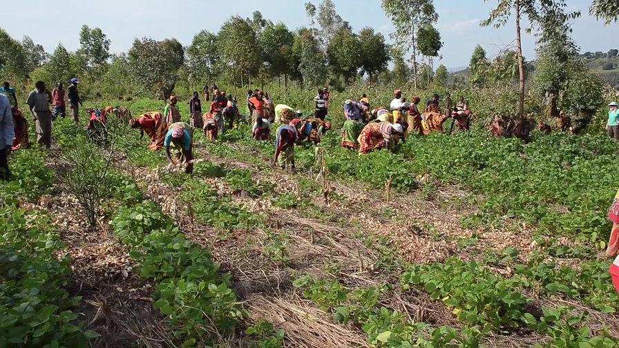 Mwumba Harvest