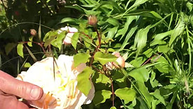 Herbaceous Fruit Tree Border and Central Border - Late Spring Virtual Open Day
