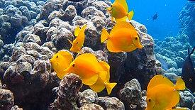 Fish Tang Yellow Black HD
