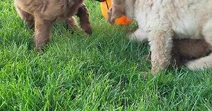 Joy and Mawells puppies