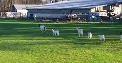Linn Co Lambs Trot/Walk