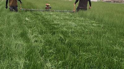 い草先刈り