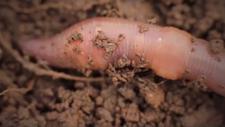 Earthworms: Soil Engineers