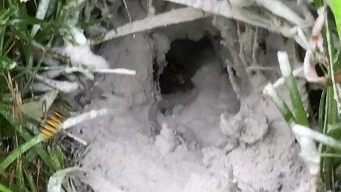 Wasp Nest In The Ground
